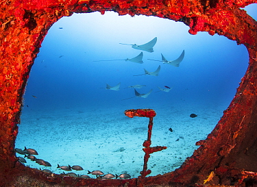 Spotted eagle rays (Aetobatus narinari) through a large window on the wreck of the former mine sweeper C-56 Juan Escutia. Cancun, Mexico.