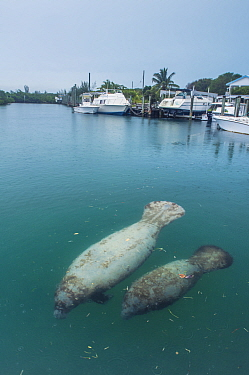 Manatee (Trichechus manatus latirostrus) female and calf close to surface in a marina with boats in background, The Bahamas.