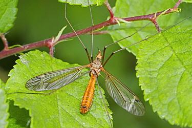 Cranefly (Tipuls lateralis) Sutcliffe Park Nature Reserve, Eltham, London, England, UK. June