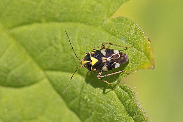Capsid bug (Liocoris tripustulatus) Sutcliffe Park Nature Reserve, Eltham, London, England, UK, June.