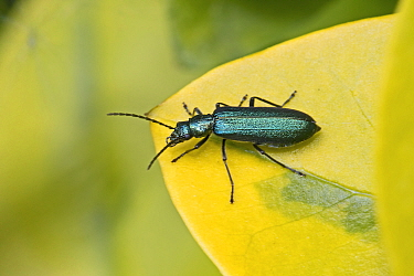 False blister beetle (Ischnomera cyanea) Brockley, Lewisham, London, England, UK. May.