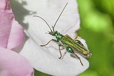 Swollen-thighed flower Beetle (Oedemera nobilis) male, New Cross Cutting, Lewisham, London, England, UK. June.