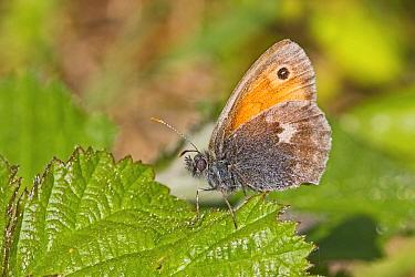Small heath butterfly (Coenonympha pamphilus) near Threatened Hutchinson's Bank, New Addington, London, England, UK, June.