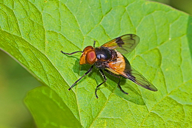 Great pied hoverfly (Volucella pellucens) male, Brockley Cemetery, Lewisham, London, England, UK, June.