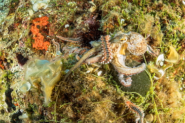 Octopus, (Octopus vulgaris), fighting with Bearded fireworm, (Hermodice carunculata) who want to eat it, top of the wall of Bisevo, Vis Island, Croatia, Adriatic Sea, Mediterranean