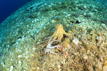 Octopus, (Octopus vulgaris), seeking help from a bigger octopus after being attacked by Bearded fireworm, (Hermodice carunculata) who want to eat it, top of the wall of Bisevo, Vis Island, Croatia, Ad...