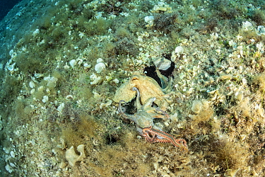 Octopus, (Octopus vulgaris) seeking help from a bigger octopus after being attacked by a Bearded fireworm, (Hermodice carunculata) top of the wall of Bisevo, Vis Island, Croatia, Adriatic Sea, Mediter...