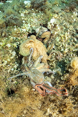 Octopus, (Octopus vulgaris) seeking help from a bigger octopus after being attacked by a Bearded fireworm (Hermodice carunculata) top of the wall of Bisevo, Vis Island, Croatia, Adriatic Sea, Mediterr...