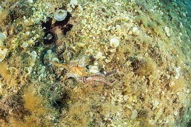 Octopus, (Octopus vulgaris) fighting with Bearded fireworm, (Hermodice carunculata) that wants to eat it, top of the wall of Bisevo, Vis Island, Croatia, Adriatic Sea, Mediterranean
