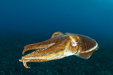 Common Cuttlefish, (Sepia officinalis), in shallow water in front Komiza beach dive site, Vis Island, Croatia, Adriatic Sea, Mediterranean