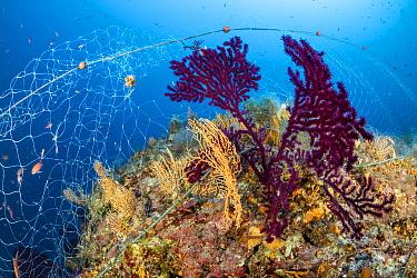 Fishing net caught on a Red sea fan, (Paramuricea clavata) und Yellow gorgonian, (Eunicella cavolini), Vis Island, Croatia, Adriatic Sea, Mediterranean