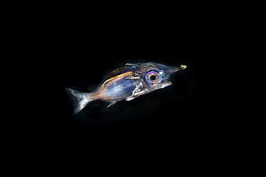Larva of a squirrelfish (Holocentrinae) or a soldierfish (Myripristinae) In the pelagic zone, Balayan Bay, Luzon Island, Philippines  Minimum fees apply.