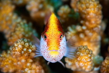 Freckled hawkfish (Paracirrhites forsteri) ambush predator in coral reef, Kenting National Park, Taiwan.  Minimum fees apply.