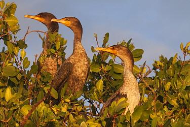 Double-crested Cormorant (Phalacrocorax / Nannopterum auritus) juvenile, Ria Celestun Biosphere Reserve, Yucatan Peninsula, Mexico, January