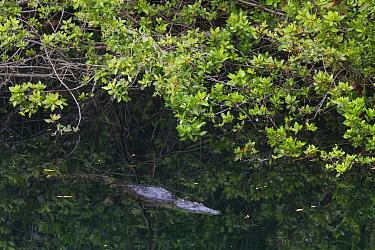 Morelet's Crocodile (Crocodylus moreletii) in the Peten Tucha waterhole, Ria Lagartos Biosphere Reserve, Yucatan Peninsula, Mexico, May