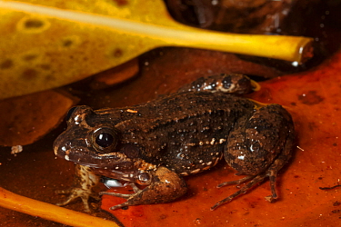 Sabinal Frog (Leptodactylus melanonotus), Ria Lagartos Biosphere Reserve, Yucatan Peninsula, Mexico, July