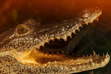 Morelet's Crocodile (Crocodylus moreletii), Ria Lagartos Biosphere Reserve, Yucatan Peninsula, Mexico, Captive.