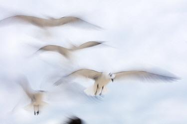 Laughing Gull (Larus atricilla) flying, Sisal, Yucatan Peninsula, Mexico, January