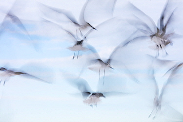 Laughing Gull (Larus atricilla) flock in flight, Sisal, Yucatan Peninsula, Mexico, January