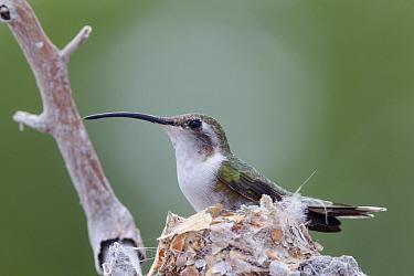 Mexican sheartail hummingbird (Doricha eliza) female nesting, Ria Celestun Biosphere Reserve, Yucatan Peninsula, Mexico, August