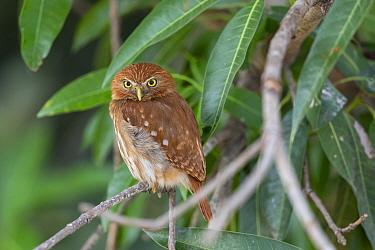 Ferruginous pygmy owl (Glaucidium brasilianum), adult, Pantanal, Mato Grosso, Brazil.