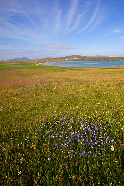 Machair sward, studded with flowers of Harebell (Campanula rotundifolia) and Ladies bedstraw (Galium Verum) North Uist, Scotland, UK, July.