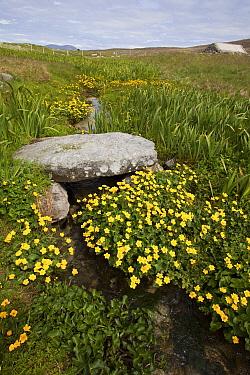 Ancient stone bridge over burn running through machair with abundant Marsh marigolds (Caltha palustris) North Uist, Scotland, UK. June.