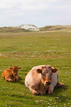 Mixed breed cow with Limousin calf on machair,. North Uist, Outer Hebrides, Scotland, UK.