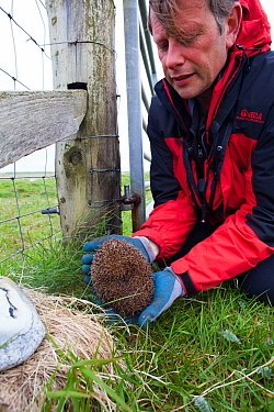Hedgehog (Erinaceus europaeas ) caught in trap to prevent it from predating Little Terns and other ground nesting birds on machair .Scottish Natural Heritage scientist relocates pregnant female to mai...