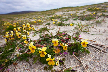 Seaside pansy (Viola tricolor curtisii) growing on cultivated machair North Uist, Outer Hebrides, Scotland, UK, June.