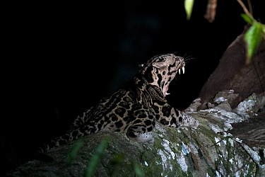 Sunda clouded leopard (Neofelis diardi) at night, yawning, Deramakot Forest Reserve, Sabah, Malaysian Borneo