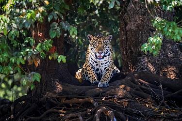 Jaguar (Panthera onca) lying on tree roots, portrait. Mato Grosso, Pantanal, Brazil.