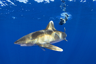 Free diver photographing Oceanic whitetip shark (Carcharhinus longimanus). North Kona Coast, Hawaii, USA.