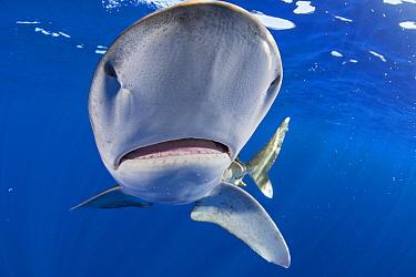 Oceanic whitetip shark (Carcharhinus longimanus), ampullae of Lorenzini electrosensory organs on underside of snout. North Kona Coast, Hawaii Island, USA.