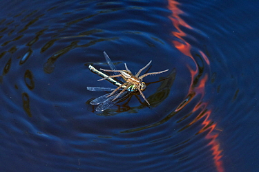 Raft Spider (Dolomedes fimbriatus) withfemale Small Red-eyed Damselfly (Erythromma viridulum) prey on water surface, Upper Bavaria, Germany, May.
