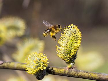 Honey bee (Apis mellifera) on Pussy willow (Salix caprea) Bavaria, Germany. April.