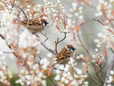 Tree sparrows (Passer montanus) Bavaria, Germany, April.