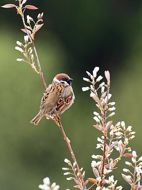 Tree sparrow (Passer montanus) Bavaria, Germany. April.