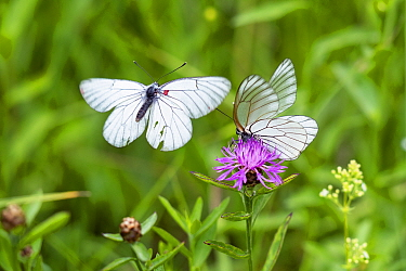 Black-veined white butterflies (Aporia crataegi) courtship, Alps, Slovenia.