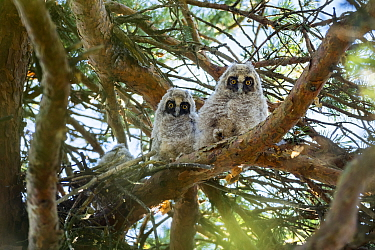 Long-eared owls (Asio otus) in the nest, Bavaria, Germany, June.