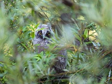 Long-eared owl (Asio otus) chick, Bavaria, Germany. June.