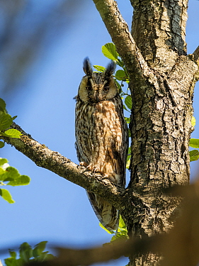 Long-eared owl (Asio otus) in alder tree, Bavaria, Germany, July.