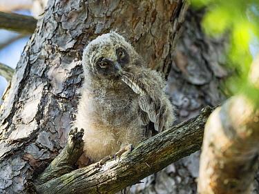 Long-eared owl chick (Asio otus) Bavaria, Germany. July.