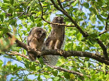 Long-eared owls (Asio otus) in alder tree, Asio otus, Bavaria, Germany, July.