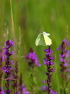 Brimstone butterfly (Gonepteryx rhamni) in flight, with Purple loosestrife (Lythrum salicaria) Upper Bavaria, Germany. July.