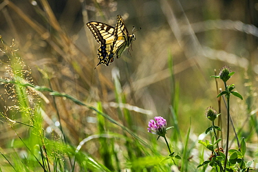 Swallowtail butterfly (Papilio machaon) in flight, Upper Bavaria, Germany, August.