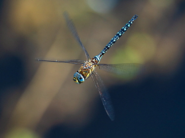 Migrant hawker dragonfly (Aeshna mixta) flying, Baden Wurttemberg, Germany. August.