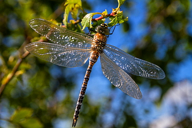 Migrant hawker dragonfly (Aeshna mixta) Upper Bavaria, Germany