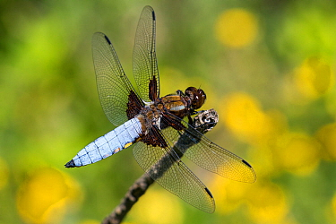 Broad-bodied chaser dragonfly (Libellula depressa) male, France. May.