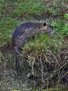Coypu (Myocastor coypus) foraging in grass, Breton Marsh, Vendee, France, August.